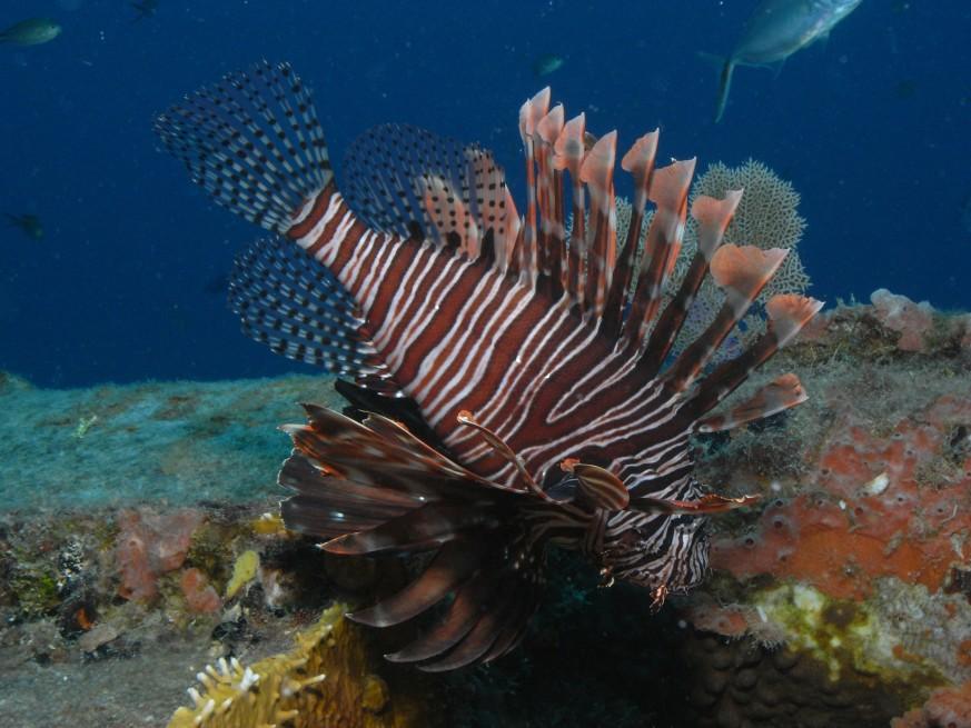 lionfish cuba