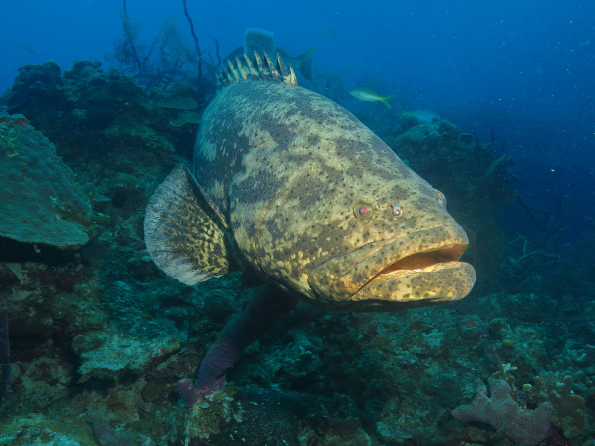 Wall Diving-Goliath Grouper